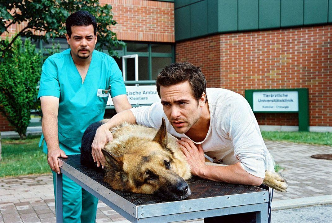 Marc (Alexander Pschill, r.) bringt den angeschossenen Rex ins Krankenhaus. Der Hund wird augenblicklich in den OP gebracht ... - Bildquelle: Ali Schafler Sat.1