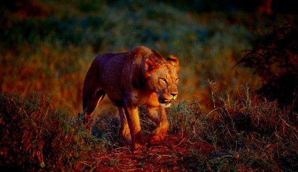 Löwe - Bildquelle: Richard Gress