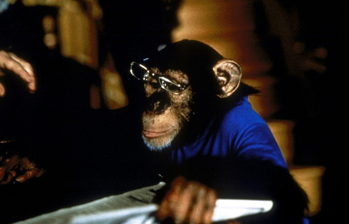 Auf keinen Fall ist Jack ein gewöhnlicher Affe: Er ist intelligenter als seine Artgenossen, denn er kann Zeitung lesen!