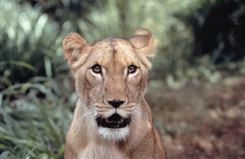 Die beiden Teenager Rand und Val versuchen, ein Löwenjunges aufzuziehen, das auf den Namen Elsa hört. Es wurde von Jägern zurückgelassen und ist... - Bildquelle: 1996 Franklin/Waterman 2. All Rights Reserved.
