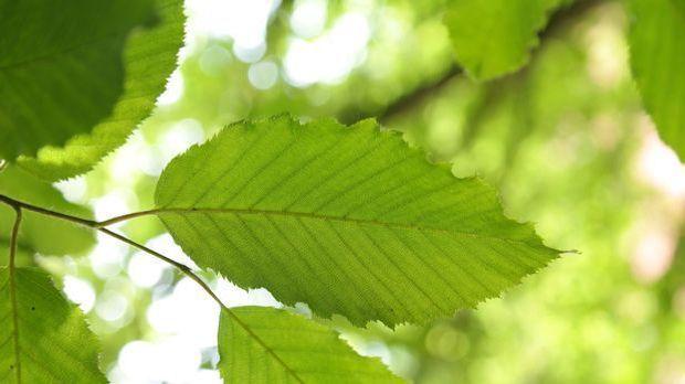 Hainbuche-Blätter-Buche-Baum-pixabay