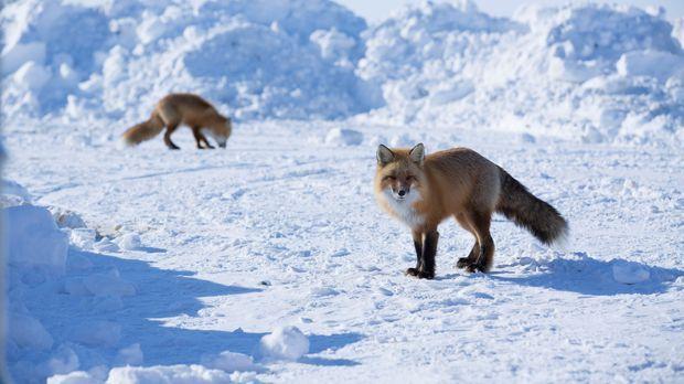 Auch für die Füchse, die in der unberührten Natur Alaskas keine Seltenheit si...