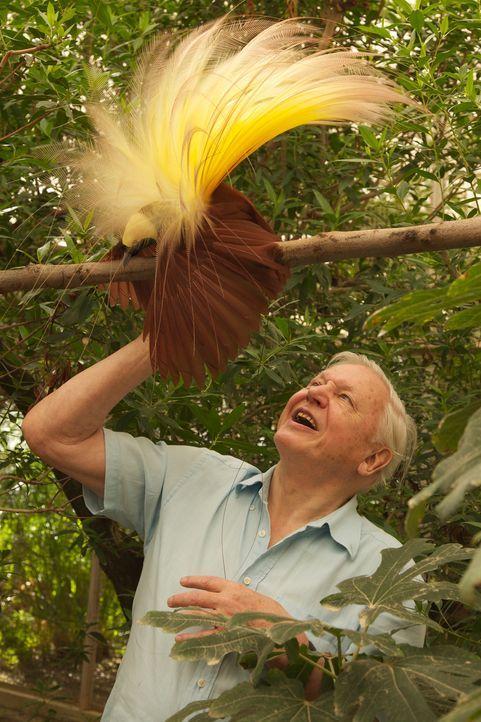 56 Jahre nach seiner ersten Begegnung mit einem Paradiesvogel in freier Wildbahn, bekommt der britische Tierforscher David Attenborough nun eine hau... - Bildquelle: Gavin Thurston Gavin Thurston