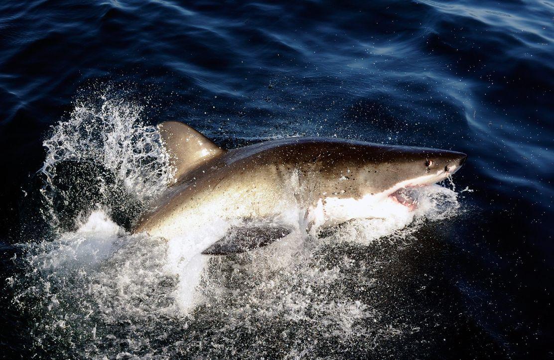 Weiße Hai jagd - Bildquelle: usage Germany only, Verwendung nur in Deutschland