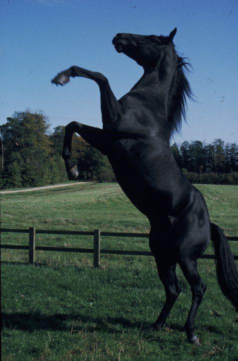 Der Hengst Beauty hat es als junges Pferd bei Farmer Grey gut getroffen. Als dieser ihn verkaufen muss, landet er bei Squire Gordon, der mit seiner... - Bildquelle: Warner Bros.