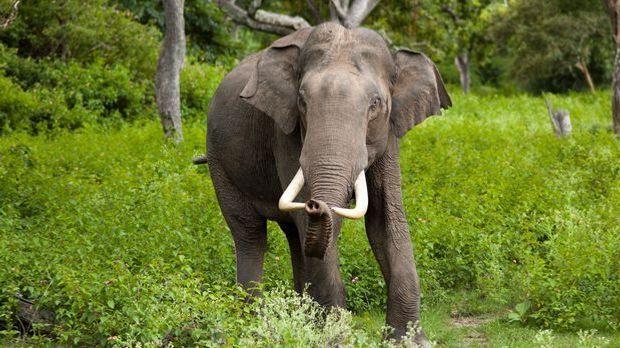 Elefanten - Wikimedia: Yathin S. Krishnappa