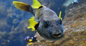 puffer-fish-573810_1280