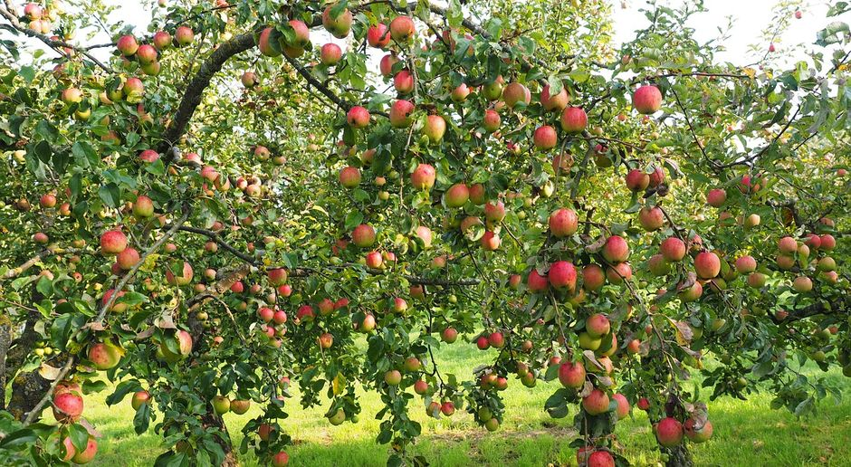 Obstbaumschnitt So Schneiden Sie Obstbaume Sat 1 Ratgeber