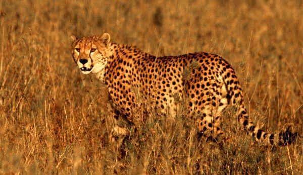 Gepard - Bildquelle: Richard Gress