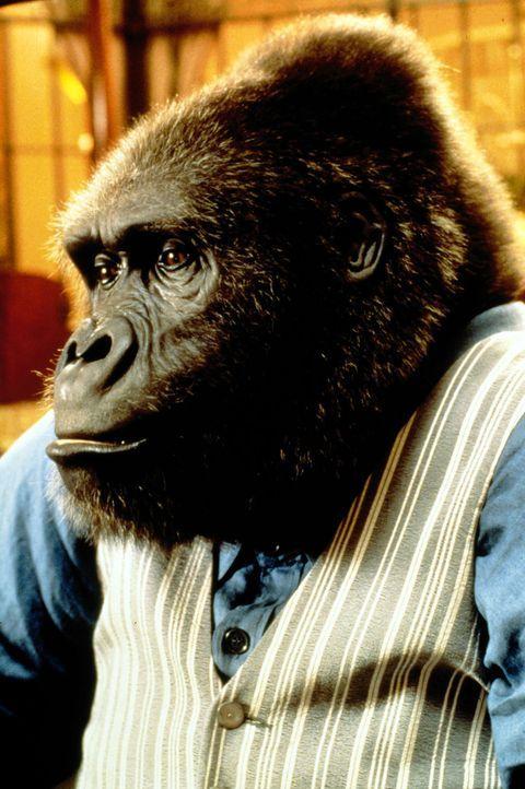 In nur wenigen Monaten wird aus dem Affenbaby ein ausgewachsener, zentnerschwerer Gorilla ... - Bildquelle: Columbia Pictures