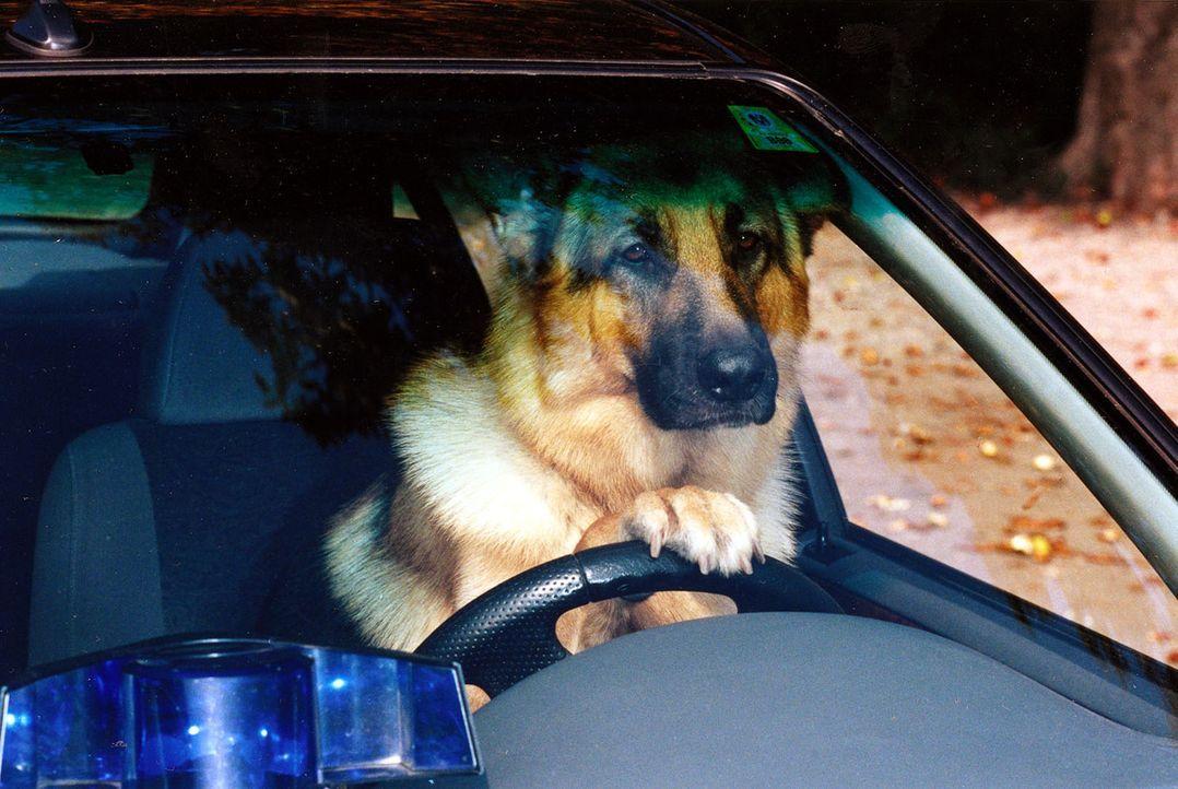 Rex kann alles - sogar Autofahren!