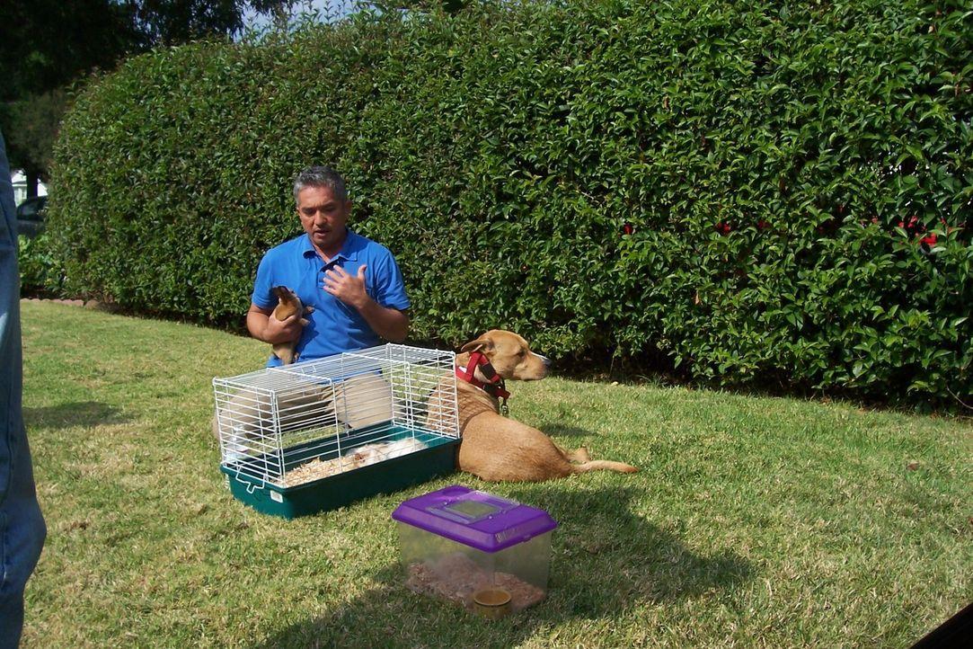 Hundeflüsterer Cesar Millan kümmert sich um den Staffordshire-Labrador-Mischling Buddy. - Bildquelle: Rive Gauche Intern. Television