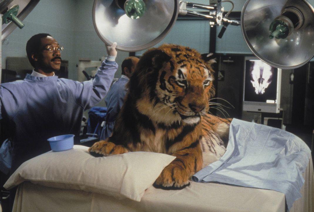 Keine Angst vor großen Tieren: Dr. Dolittle (Eddie Murphy) mit einem seiner Patienten ... - Bildquelle: 1998 Twentieth Century Fox Film Corporation. All rights reserved.