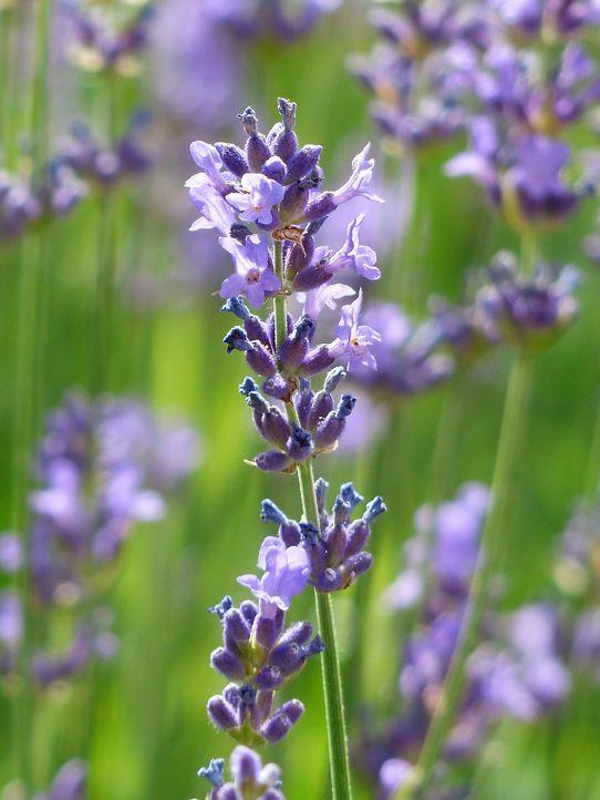 5. LavendelEin Geheimtipp unter Schlaflosen ist Lavendel! Die Heilpflanze au...