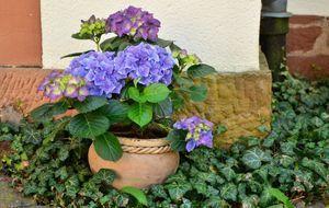 hortensien pflanzen schneiden vermehren berwintern sat 1. Black Bedroom Furniture Sets. Home Design Ideas