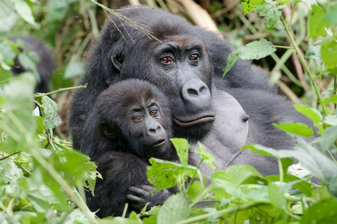 Hautnah bei den Gorillas in der Demokratischen Republik Kongo: Gorilla-Baby Mwira und seine Mutter Mwinga ... - Bildquelle: Patrick Evans BBC/Patrick Evans 2015