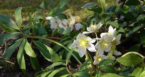 Zwar gedeiht die Christrose im Schatten ebenfalls, doch gerade während ihrer...