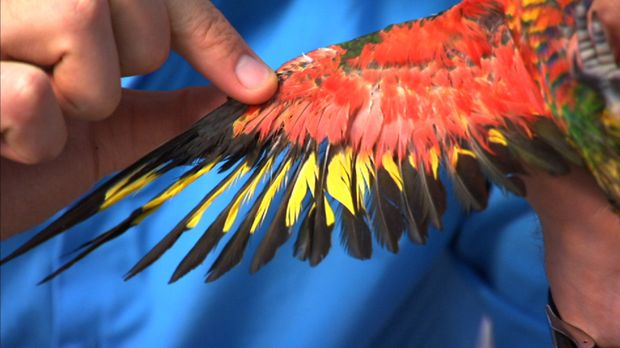 Ein Regenbogenpapagei ist heute unter anderem Patient bei Tierarzt Dr. Chris...