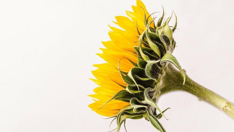 Sonnenblumen Malen Anleitung Und Tipps Sat 1 Ratgeber