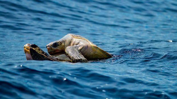 Schildkröten bei der Fortpflanzung