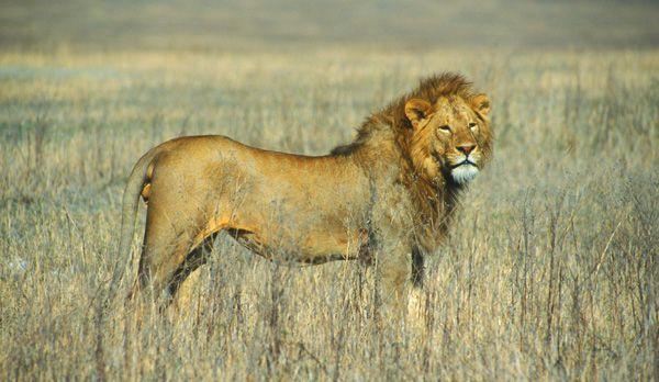 Löwenpascha - Bildquelle: Richard Gress