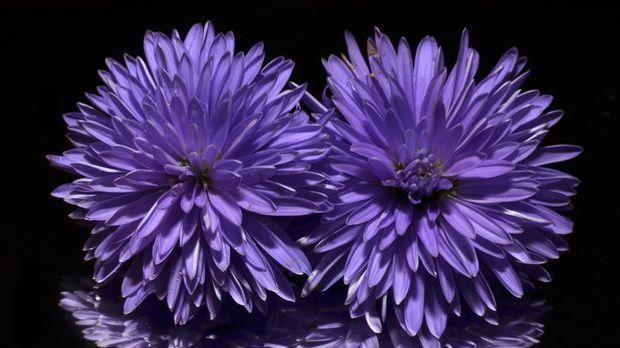 Herbstaster-Blume-Aster-pixabay
