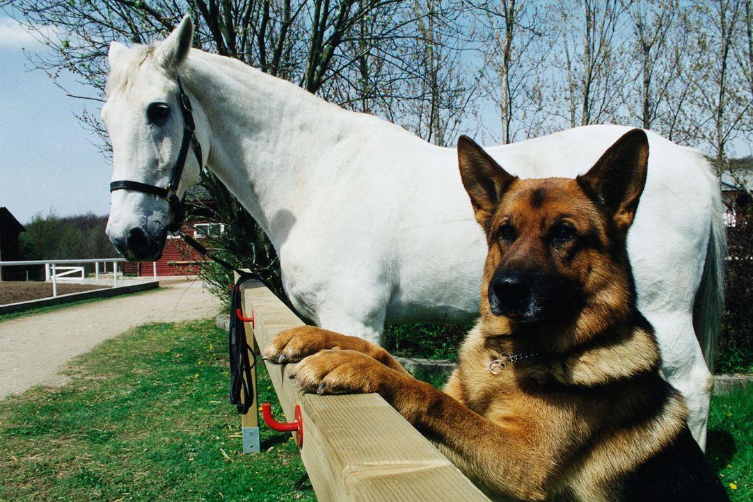 Ein Typ zum Pferdestehlen: Rex hat sich in ein Pferd verliebt... Der Schimmel steht auf dem Reiterhof von Frau Sikora, deren Mann tot aufgefunden wurde.