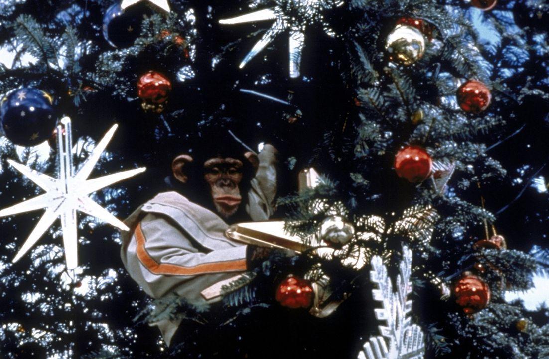 Für einen Affen ist auch ein Weihnachtsbaum nur ein Baum - ideal zum Klettern ...