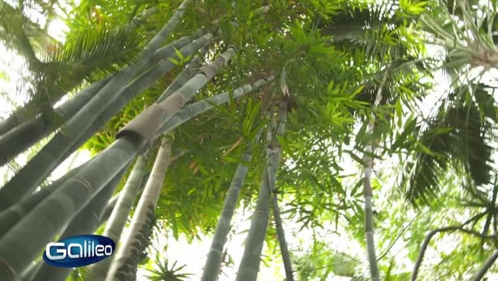 Weg des Bambus