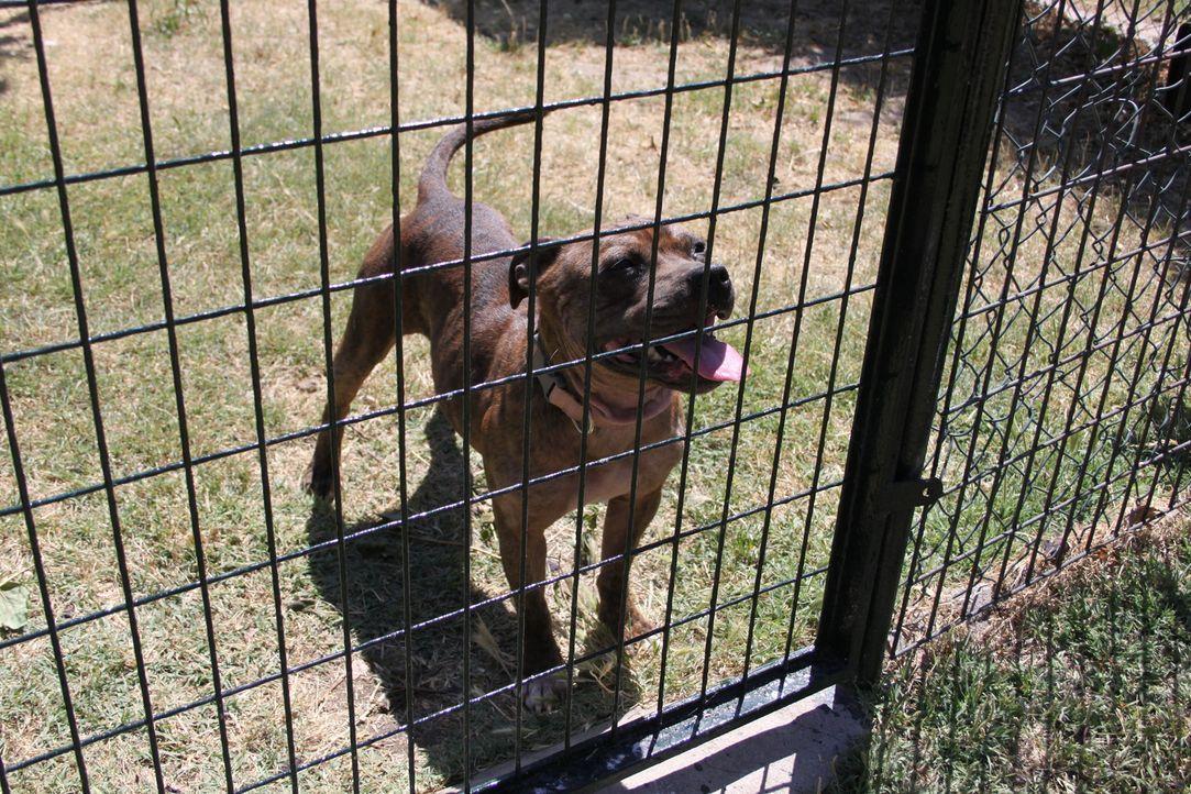 Nachdem Staffordshire Bullterrier Rosie sich einige schlechte Angewohnheiten in verschiedenen Tierheimen angeeignet hat, versucht Cesar ihr genau di... - Bildquelle: Belén Ruiz Lanzas 360 Powwow, LLC / Belén Ruiz Lanzas