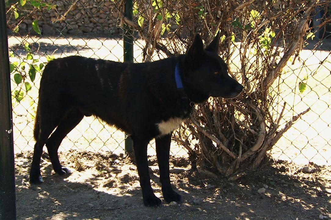 Sein ganzen Leben lag Turbo in Ketten. So auch jetzt, im Tierheim. Er gilt als aggressiver Kettenhund und hat es nicht leicht, neue Besitzer zu find... - Bildquelle: Belén Ruiz Lanzas 360 Powwow, LLC / Belén Ruiz Lanzas