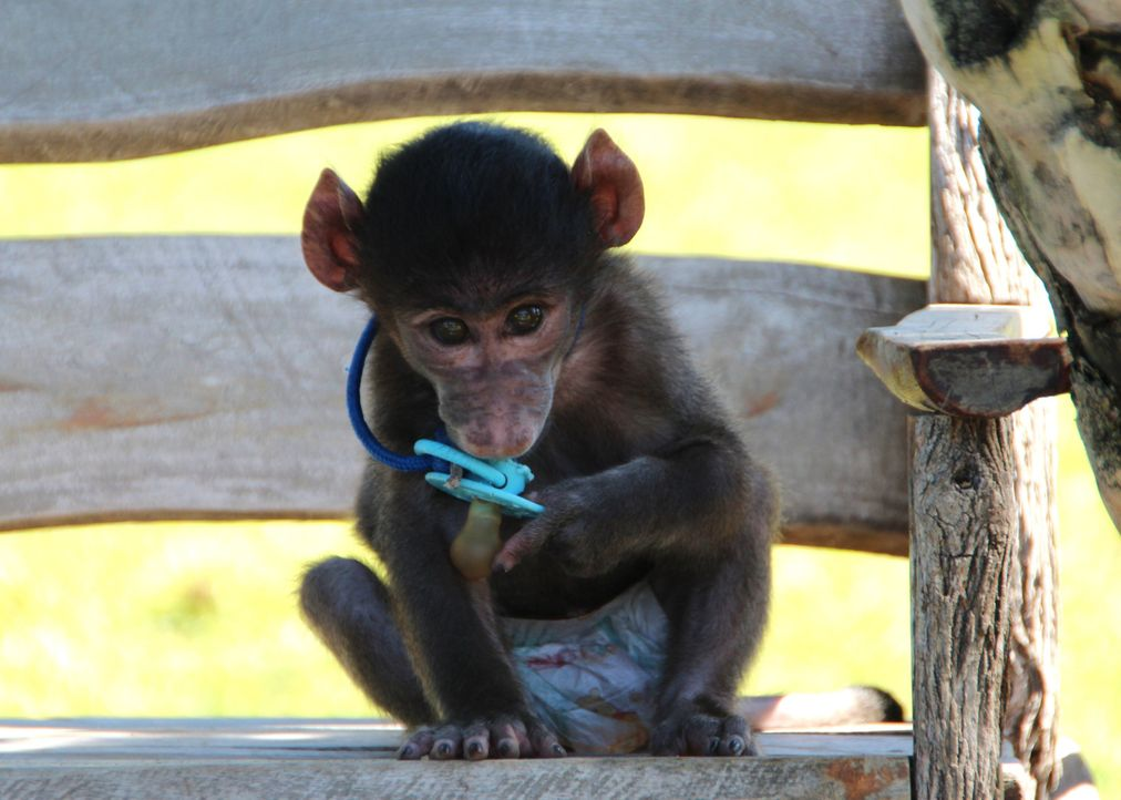 Andrea Kaiser besucht die Harnas Wildlife Foundation in Namibia - Ein Waisenhaus für afrikanische Wildtiere. Dort trifft sie auf 3 Monate alten Pavi... - Bildquelle: SAT.1