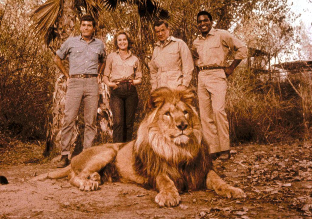 Ein schielender König der Tiere und eine freche Schimpansendame - dagegen ist schwer anzuspielen. Dr. Marsh Tracy (Marshall Thompson, 2.v.r.) und se... - Bildquelle: CBS Television