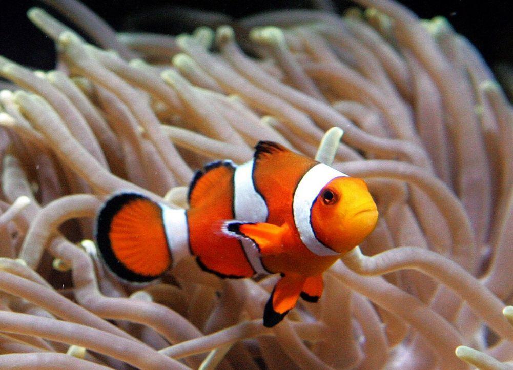 Clownfisch - Bildquelle: dpa