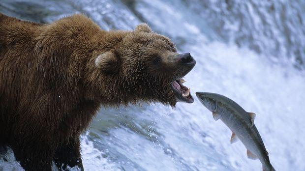 Die Grizzlybären am Brooks River in Alaska nutzen der Wanderung der Lachse, u...