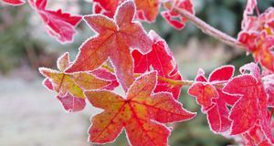 Ausgewachsene Bäume vertragen Frost, junge Pflanzen sollten hingegen geschütz...