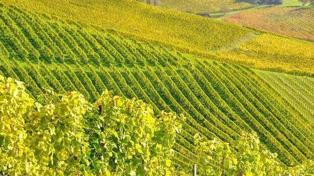 Weinrebe-Steiermark