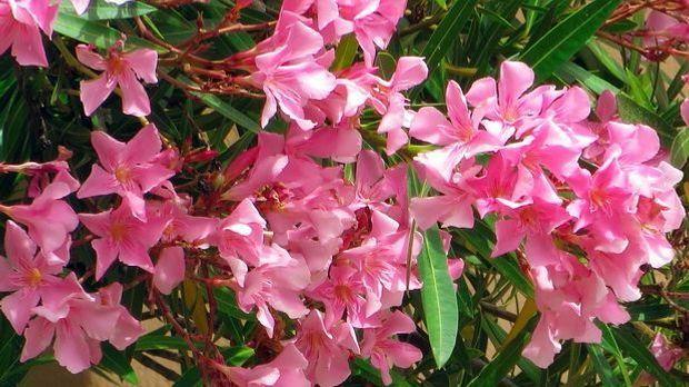 oleander schneiden berwintern und vermehren. Black Bedroom Furniture Sets. Home Design Ideas