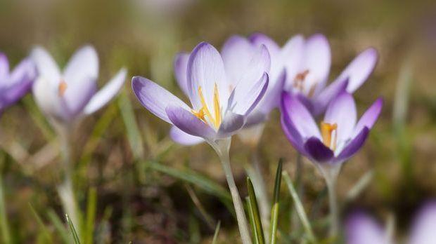 Krokus-Blumen-Frühling-pixabay