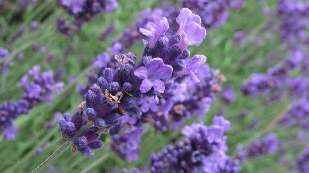 Lavendel-700x350-dpa_large