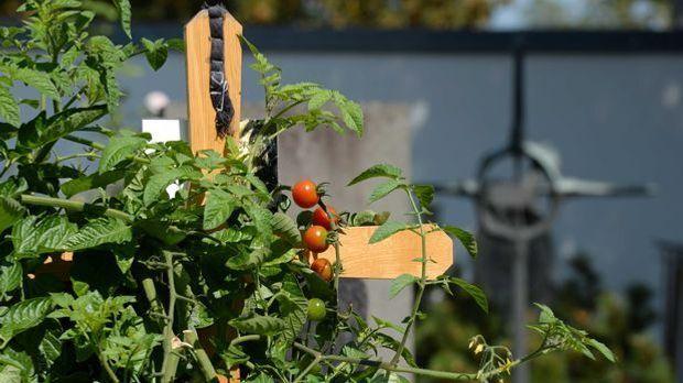 Tomaten Grab
