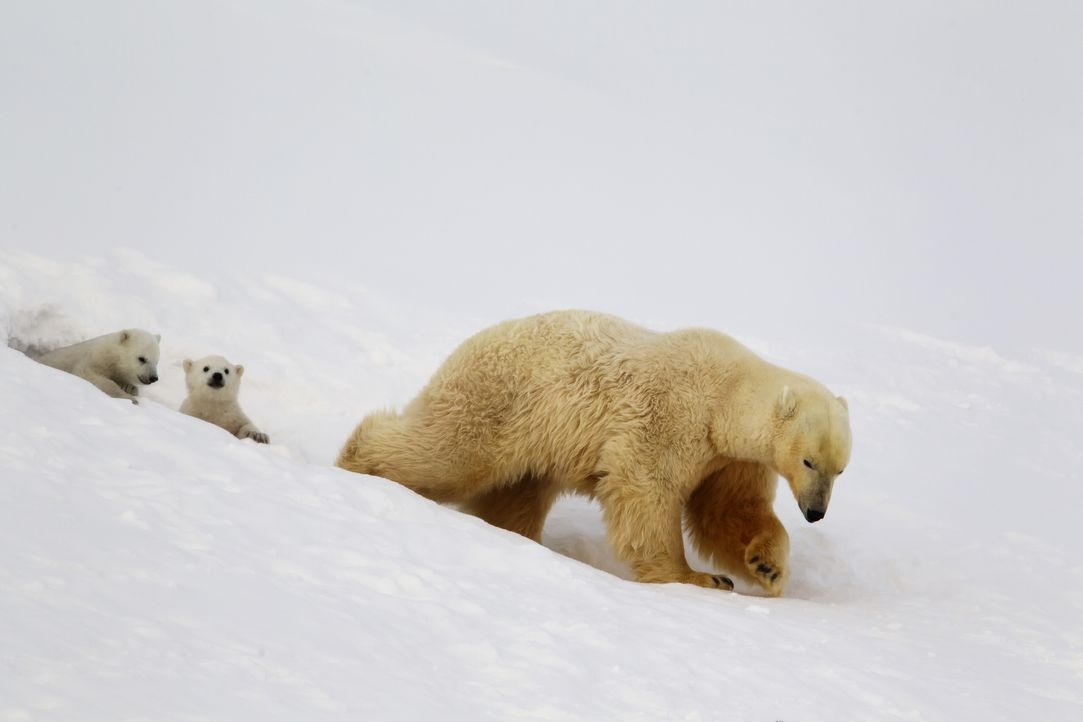 Als stiller Gefährte der Eisbärenmama Lyra und ihren Jungen Miki und Luca, kommt Gordon Buchanan den Tieren so nah wie noch nie jemand vor ihm ... - Bildquelle: Jason Roberts