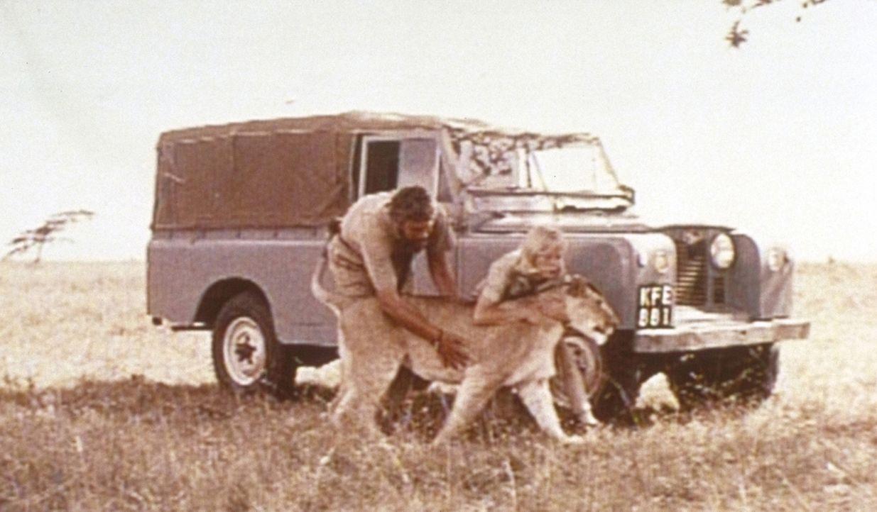 George (Bill Travers, l.) und Joy (Virginia McKenna, r.) verabschieden sich von ihrer Löwin Elsa, bevor sie sie in die Freiheit entlassen ... - Bildquelle: 1965, renewed 1993 Columbia Pictures Industries, Inc. All Rights Reserved.