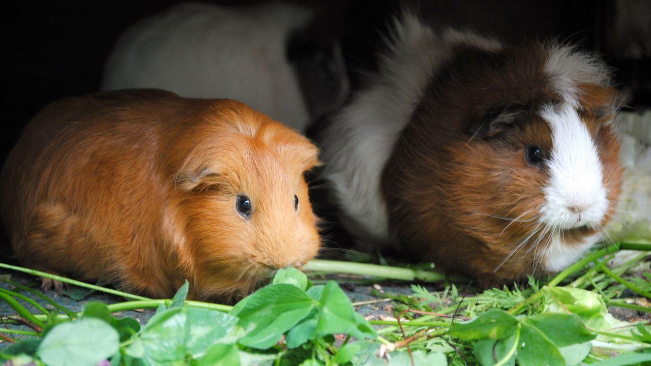 Meerschweinchen1 - Bildquelle: dpa/tmn