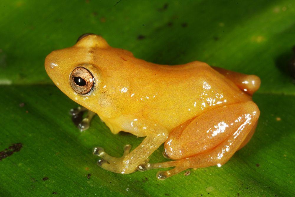 Gelber Frosch - Bildquelle: Andreas Hertz