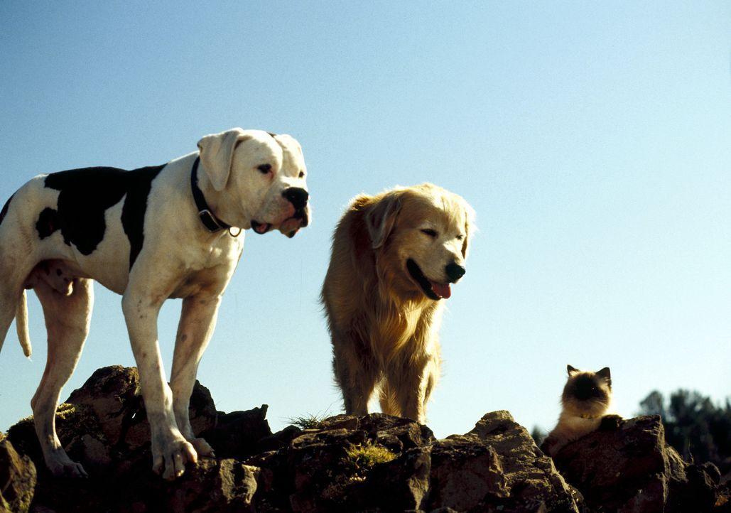 Katze Sassy (r.), Bulldogge Chance (l.) und Golden Retriever Shadow (M.) sind auf der Suche nach ihrer Menschenfamilie ... - Bildquelle: Walt Disney Pictures. All Rights Reserved.
