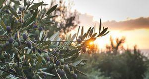 Olivenöl aus Italien ist besonders beliebt bei den Verbrauchern. Doch nicht i...