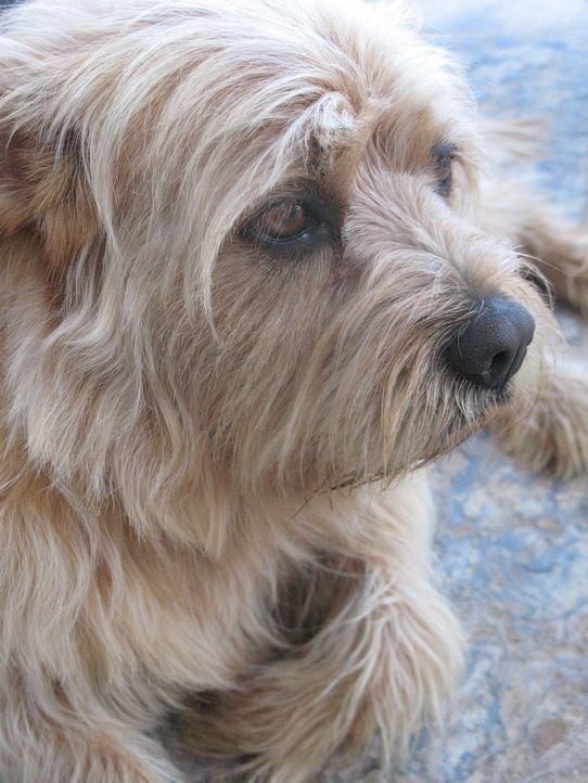 Collie-Mischling Tobi musste einen Monat in einer psychiatrischen Hundeklink verbringen, da er ständig seine Besitzer angriff. Auf Gäste ist der H... - Bildquelle: Rive Gauche Intern. Television