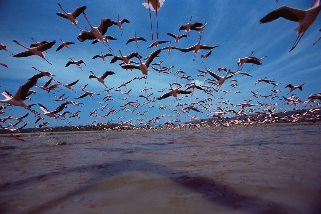 Die Flamingo-Familien verweilen am See, bis die Küken fliegen können. Dann ziehen sie weiter, auf der Suche nach neuen feuchten Gegenden, da der S... - Bildquelle: Disney Enterprises, Inc.  All rights reserved.