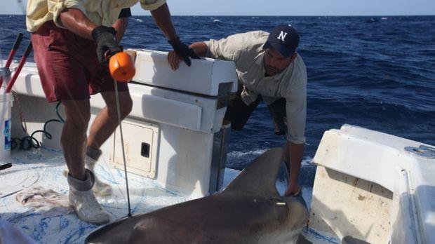 Möchte mehr über die großen Haie von Florida wissen: Dr. Zeb Hogan (r.) ... ©...